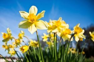 pics-daffodil