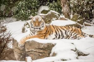 Mik tiger in snow_Oregon Zoo