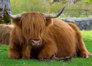 Highland-Cattle-Animal