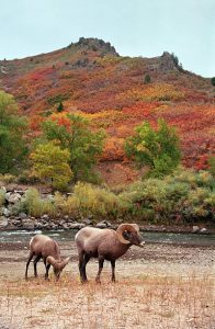 rams in fall
